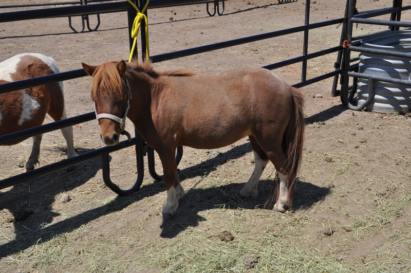"""Garnet is a 2006 31"""" AMHA Chestnut Roan Pinto mare. We purchased her in spring of 2013 for my oldest daugher Kenzie. Kenzie absolutely loves this little mare and they run all over the valley together."""