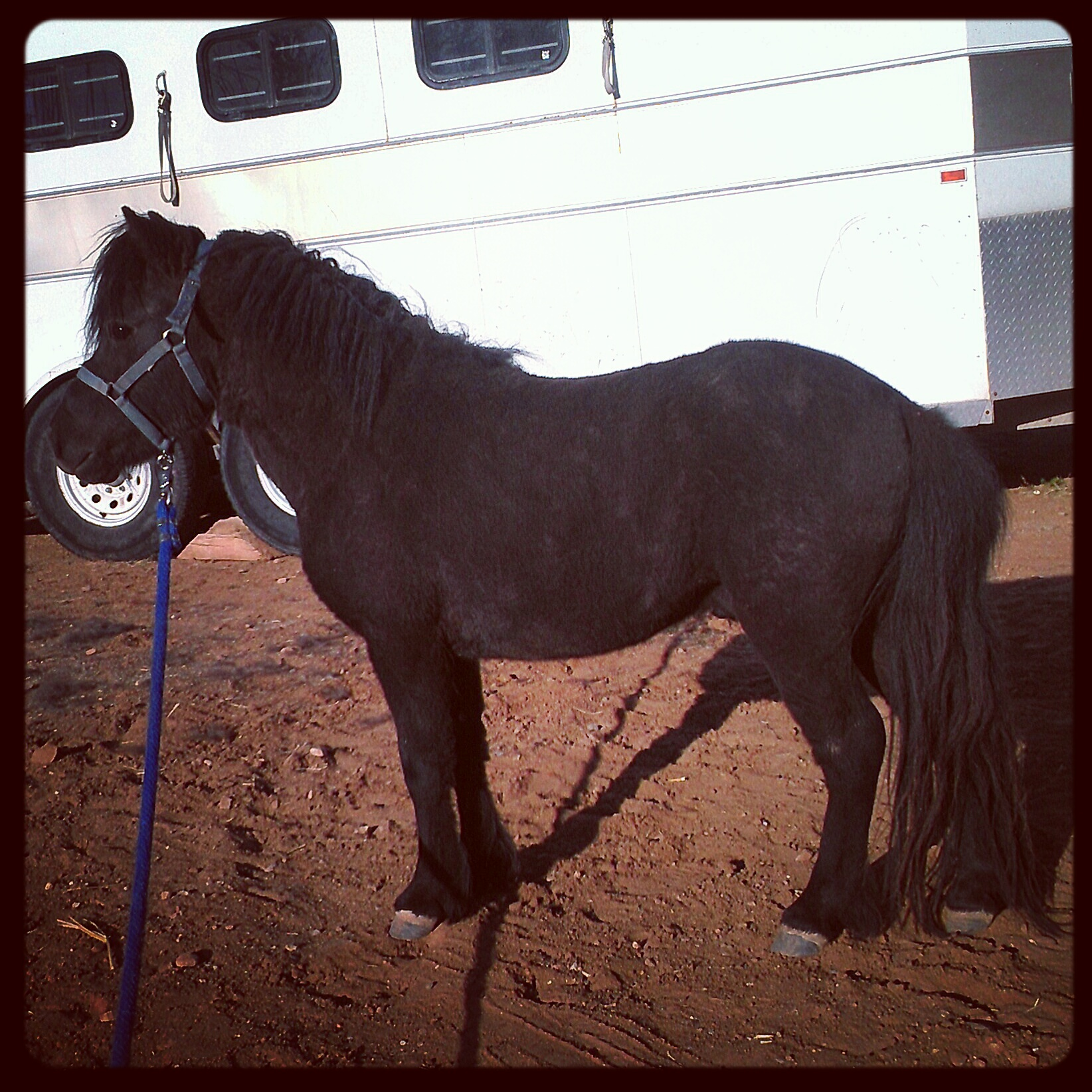 """Freedom is a pure black 2010 AMHA/AMHR stallion. He stands 32.5"""" tall but thinks he is much larger. We purchased him in January of 2013 from Robin a ROKO Miniatures. He has personality plus and boasts some greats in his bloodlines."""